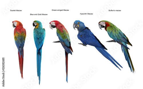 Set of macaw bird,Scarlet Macaw, Blue and Gold Macaw, Green