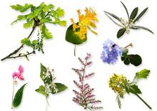 Bachblüten, Homöopathie, Blüten, Eiche (Quercus), Geißblatt
