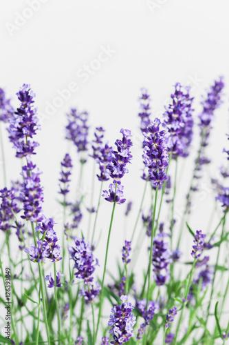 Obraz na płótnie Lavendel