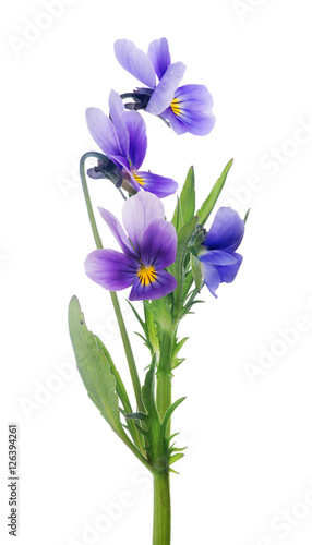 Ingelijste posters Pansies four isolated pansy lilac blooms on stem
