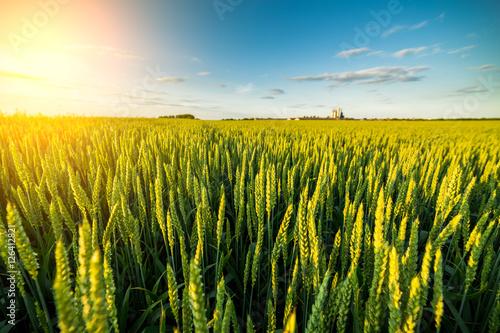 Fotografia  Green field of sprouting wheat