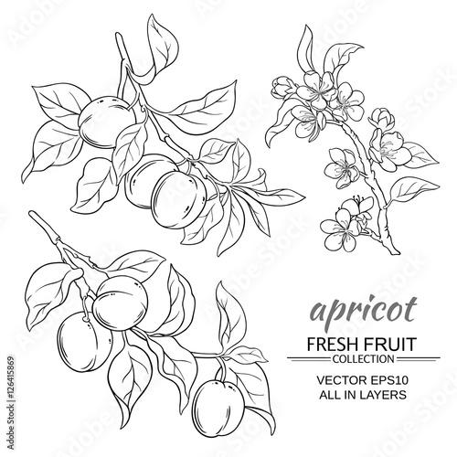 Obraz na płótnie apricot vector set