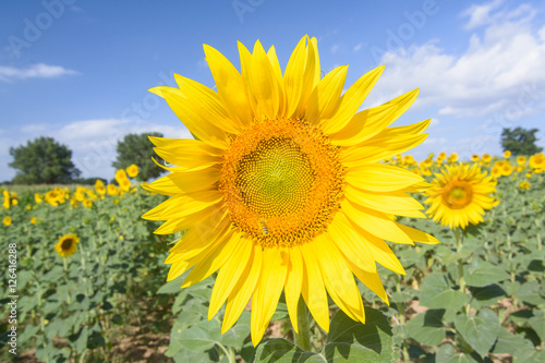 Garden Poster Sunflower Tuscany sunflower