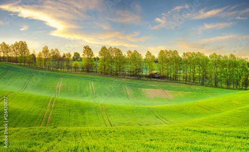 Fototapeta Zielone łany młodego zboża na wiosennym polu  obraz
