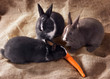 Three Dutch rabbit dwarf eat carrots on sackcloth