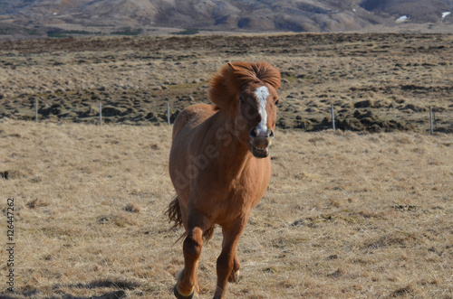 Fotografía  Beautiful Galloping Icelandic Horse