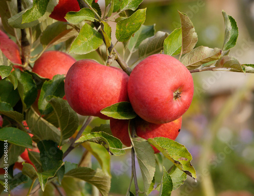 Plakat jabłka,