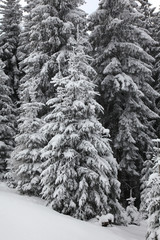 Obraz Winter mountain forest. Fir branches covered with snow