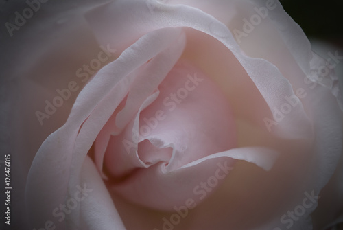 Canvas Print The Perfect Pink Rose