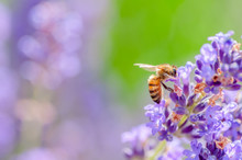 Honey Bee Visiting The Lavender Flowers And Collecting Pollen Close Up Pollination