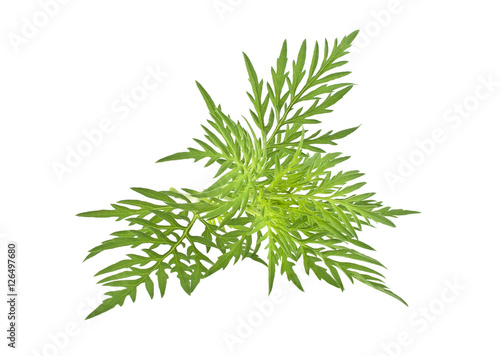 Photo Ragweed plant in allergy season isolated on white background, co