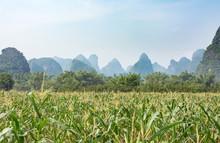 Corn Field In Karst Area Of Gu...