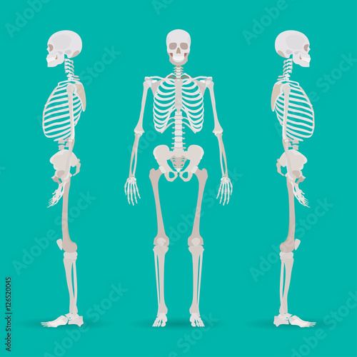 Photo  Skeleton human anatomy side