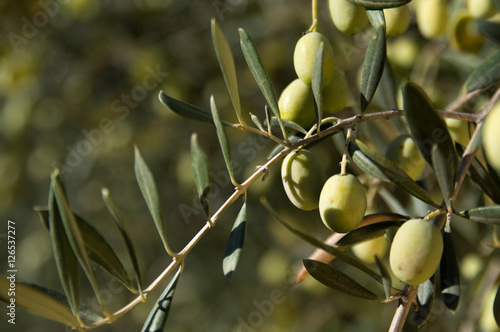 Wall Murals The olive (Olea europaea)