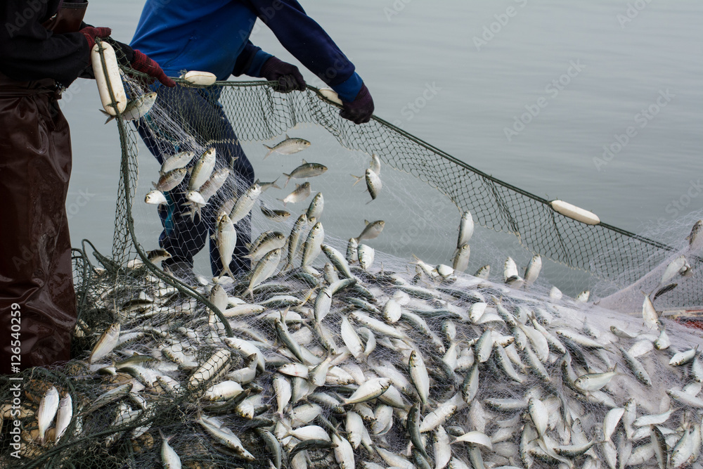 Fototapety, obrazy: On the fisherman boat,Catching many fish at mouth of Bangpakong river in Chachengsao Province east of Thailand.
