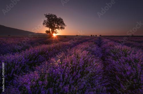 Spoed Foto op Canvas Violet Lonely tree in lavender field at sunrise near Kazanlak town, Bulgaria