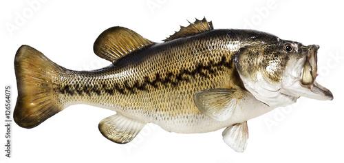 Fototapeta Mounted Largemouth Bass obraz