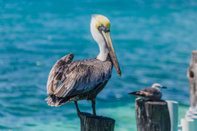 Pelican In The Ocean, Sea Bird