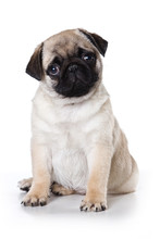 Pug Puppy Dog Looking At The C...