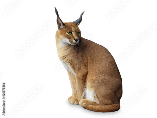 Recess Fitting Lynx Caracal African wild cat . Isolated on white