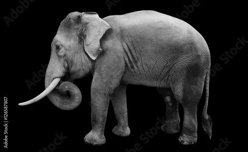 Staande foto Buffel isolated male asian elephant, include path