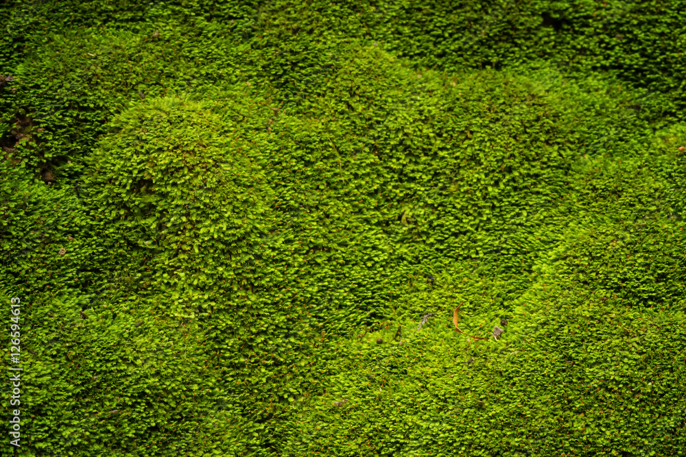 Fototapety, obrazy: Green moss in nature