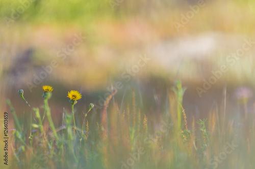 Fotobehang Gras yellow flowers in the field