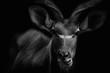 huge Kudu Bull antelope.