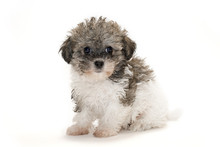Teddy Bear Puppy With White Background