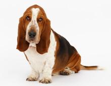 Dog, Basset Hound, Isolated