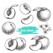 Vector Peaches Hand Drawn Sketch With Flowers .  Sketch Vector  Food Illustration. Vintage Style