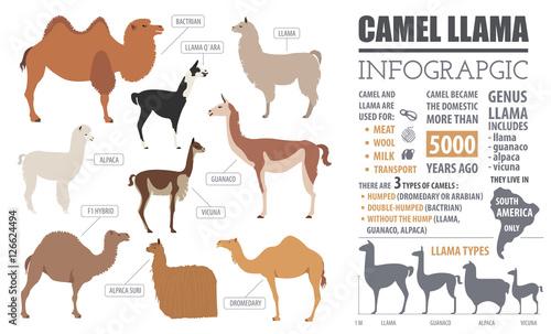 camel llama guanaco alpaca breeds infographic template anim