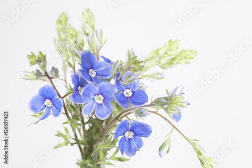 Fototapety, obrazy: Незабудки цветок