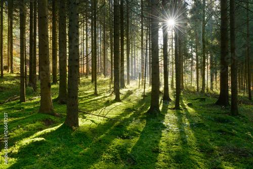 Fototapeten Wald Fichtenwald im warmen Licht der Morgensonne, weiche Moospolster bedecken den Boden