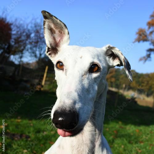 Fényképezés  lustiger weißer Greyhound