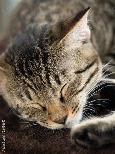 Valokuvatapetti 子猫の昼寝