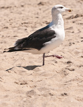 Seagull Marching On A Sandy, T...