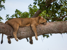 Lioness Asleep On A Fig Tree B...