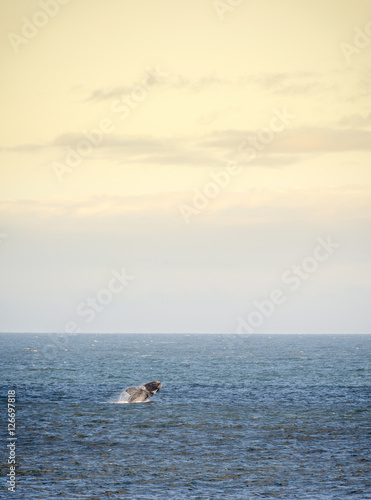 Southern Right Whale Jumps