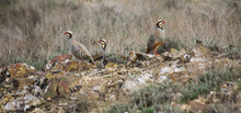 Group Of Chukar Partridges (Alectoris Chukar)