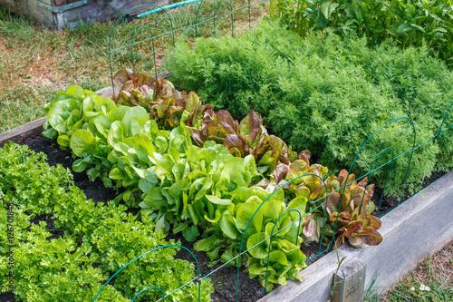 Rows of green vegetables grow an urban community garden Wallpaper Mural