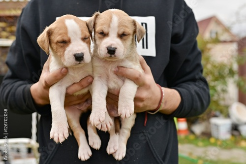 Carta da parati American staffordshire terrier puppie