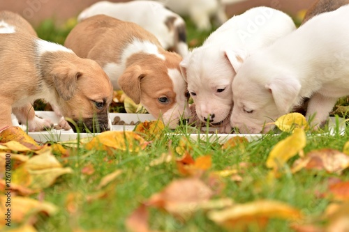 American staffordshire terrier puppie Fototapet