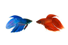 Red And Blue Siamese Fighting Fish On White Background
