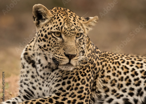 Poster Leopard Leopard Lying Down (Panthera pardus) - Sabi Sands Game Reserve, South Africa