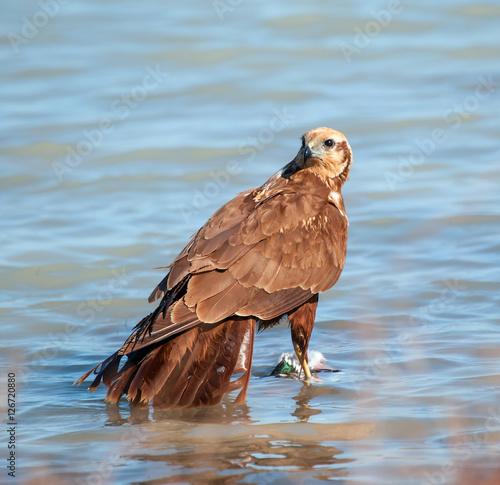 Fotografie, Tablou  hawk eats its prey
