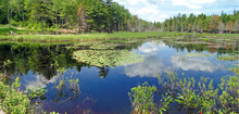 Water Lilies In New Engand Marsh Near Long Pond,Mount Desert Island, Acadia National Park, Maine
