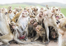 Group Of Monkeys Are Waiting A...