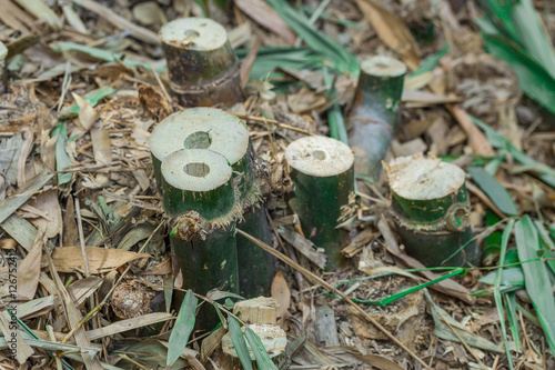Papiers peints Bambou Bamboo forests in the tropics being destroyed by humans.