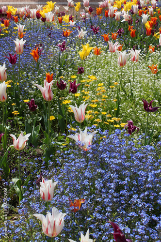 Photo  Tulip garden with special tulip varieties.